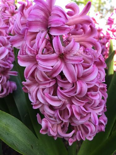 Hyacinthus Anna Liza