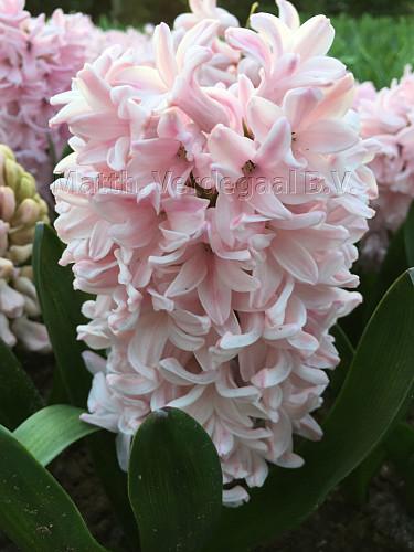 Hyacinhus Apricot Passion
