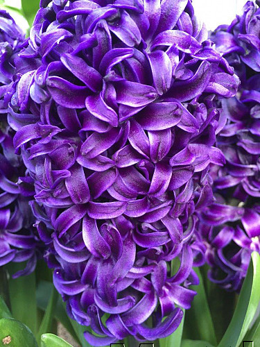 Hyacinthus Aida