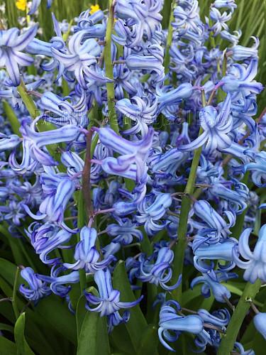 Hyacinthus Blue Festival