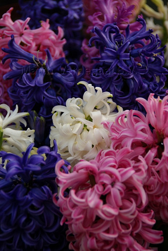 Hyacinthus Pearls Passion
