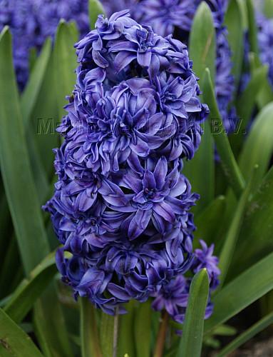 Hyacinthus Royal Navy