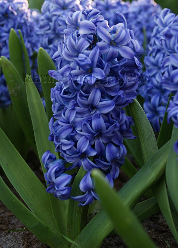 Hyacinthus Sky Jacket