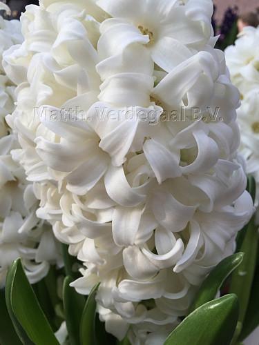 Hyacinthus Top White