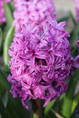 Hyacinthus Amethyst