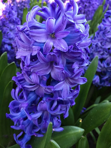 Hyacinthus Delft Blue
