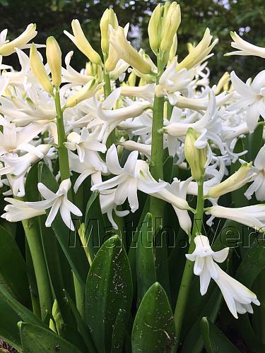 Hyacinthus Orientalis White (multiflora)