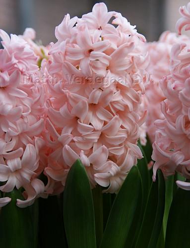 Hyacinthus Pink Elephant