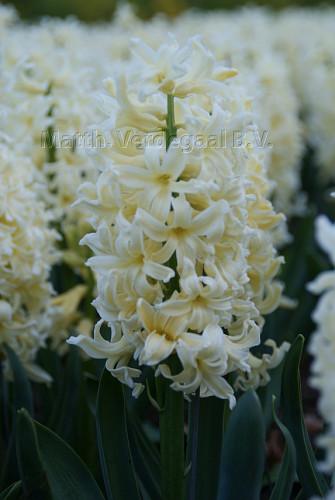 Hyacinthus Yellow Queen