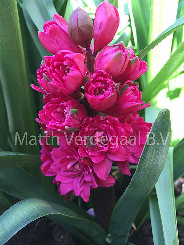 Hyacinthus Hollyhock