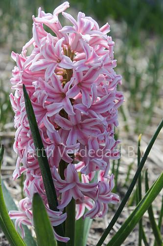 Hyacinthus Pink Jacket