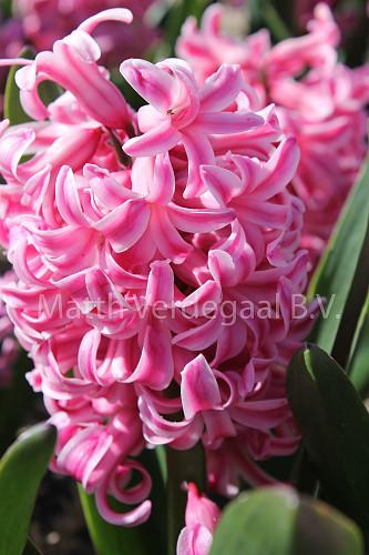 Hyacinthus Prince of Holland