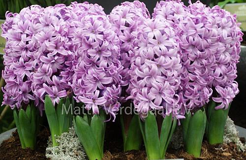 Hyacinthus Purple Pride