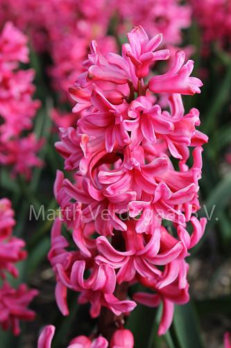 Hyacinthus Vuurbaak