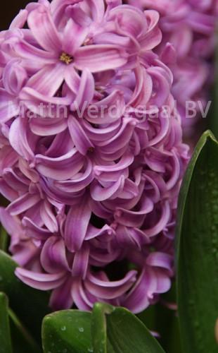 Hyacinthus Andorra
