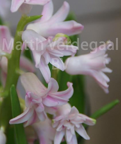 Hyacinthus Prince of Love