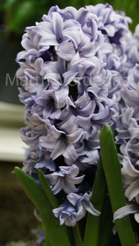 Hyacinthus Fresco