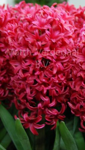 Hyacinthus Love Affair