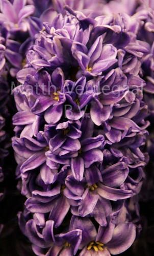 Hyacinthus Sky Mountain
