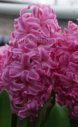 Hyacinthus Ibis