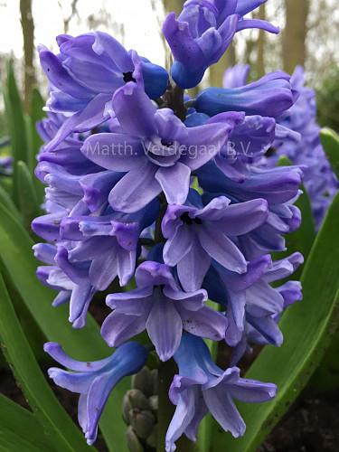 Hyacinthus Sky Planet