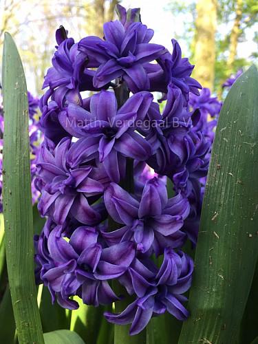 Hyacinthus Lily Purple