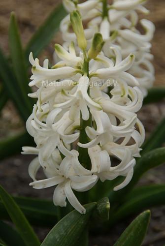 Hyacinthus White Pearl